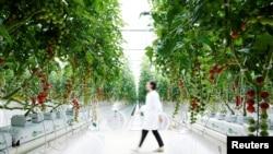 Seorang petugas berjalan di antara tanaman tomat di Hengda greenhouse in Shanghai, China May 25, 2021. Picture taken May 25, 2021. REUTERS/Aly Song