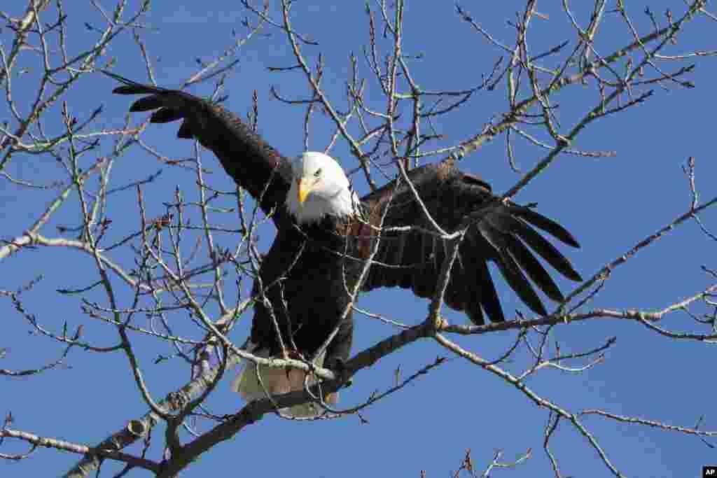 لحظه نشست یک عقاب سرسفید بر روی درختی در کنار رودخانه دوموین، ایالت آیووا. عقاب سرسفید در آمریکا مورد توجه است. بر روی نشانهای رسمی ایالات متحده عکسی از این عقاب قرار دارد که در چنگالهای سمت چپ خود ۱۳ تیر و در چنگالهای سمت راست خود یک شاخه زیتون دارد.