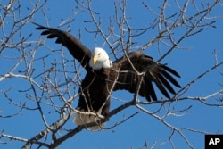 A bald eagle lands in a tree in in Des Moines, Iowa, February 6, 2020. (AP Photo/Charlie Neibergall)