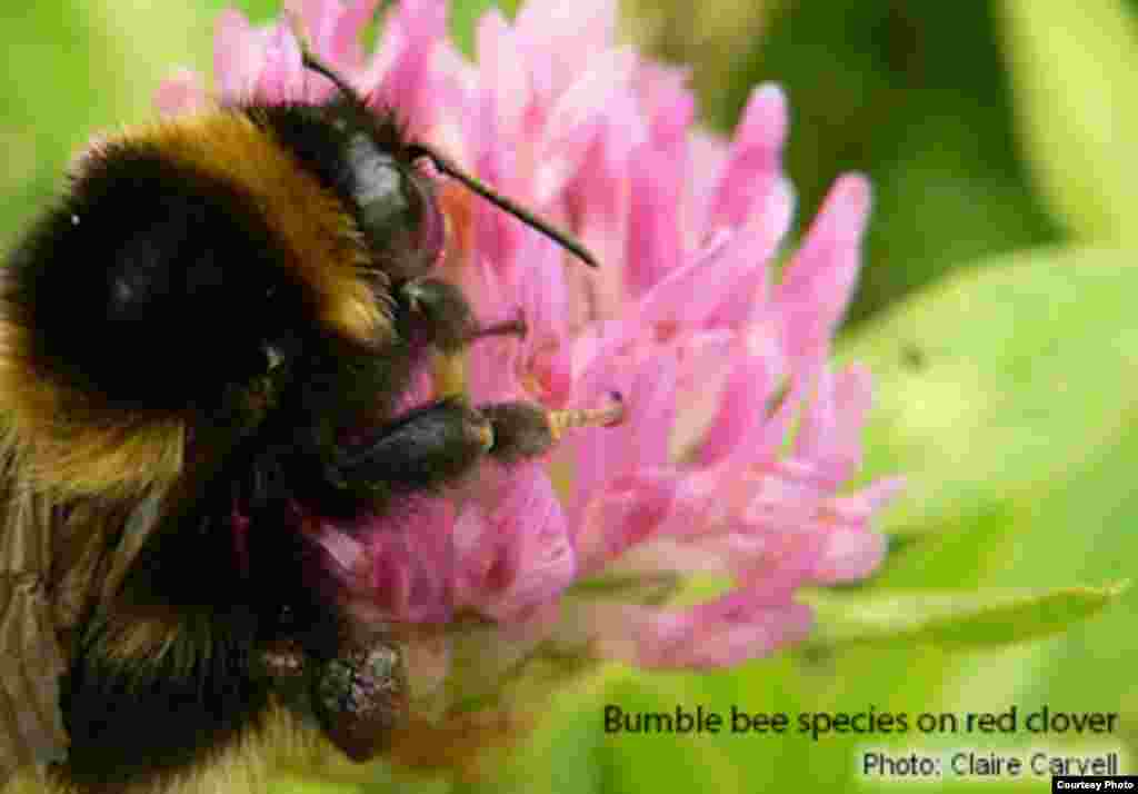 Bumble bees are in decline around the world due to agricultural pesticide use, disease, and human encroachments on their habitats. (Photo: Claire Carvell)