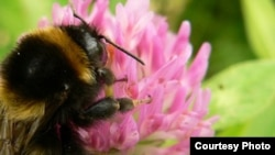 Pollinators Being Threatened