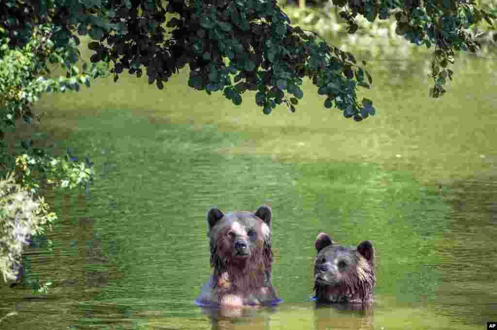 آب تنی این دو خرس قهوه ای در محوطه خودشان در باغ وحش پوئینگ آلمان