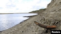 A mammoth tusk is pictured by a river on the Taimyr Peninsula in Siberia in this image released to Reuters, April 22, 2015. (Handout / Love Dalen)