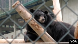 The bears at the sanctuary spread themselves out on wooden platforms, clamber on tire swings or splash around in pools surrounded by forest and a burbling stream. (Marianne Brown for VOA)
