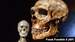 FILE - A reconstructed Neanderthal skeleton, right, and a modern human version of a skeleton, left, are on display at the Museum of Natural History, Jan. 8, 2003 in New York. (AP Photo/Frank Franklin II)
