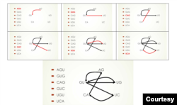 Mỗi mũi tên biểu hiện một read. Mũi tên từ AG tới GU biểu hiện AGU. (Hình: Vũ Quí Hạo Nhiên)