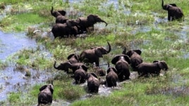 Elephants wade in the floodwaters of the central districts of Chipanga, Mozambique, February 2001.