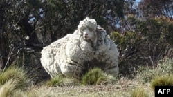 An undated handout photo obtained on September 2, 2015 from the RSPCA shows a giant woolly sheep on the outskirts of Canberra as Australian animal welfare officers put out an urgent appeal for shearers after finding the sheep with wool so overgrown its li