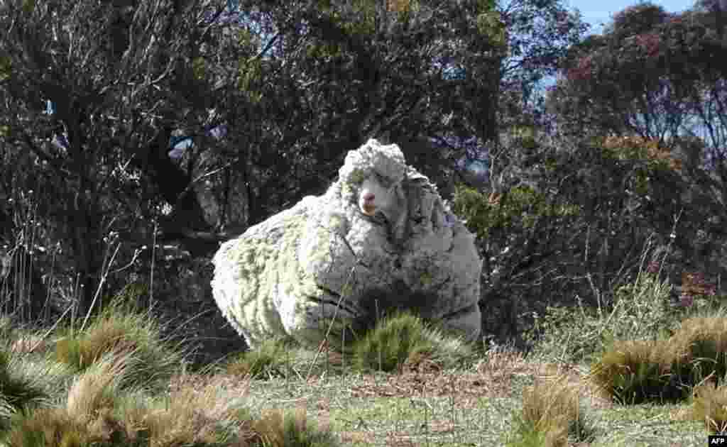 An undated handout photo from the RSPCA shows a giant woolly sheep on the outskirts of Canberra as Australian animal welfare officers put out an urgent appeal for shearers after finding the sheep with wool so overgrown its life was in danger.