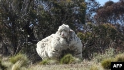 An undated handout photo obtained on September 2, 2015 from the RSPCA shows a giant woolly sheep on the outskirts of Canberra as Australian animal welfare officers put out an urgent appeal for shearers after finding the sheep.