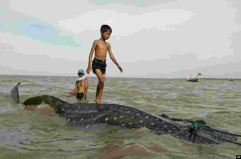 An Indonesian youth walks on the back of a beached whale shark as fishermen prepare to pull it back to the sea at Kenjeran beach in Surabaya, East Java, Indonesia.