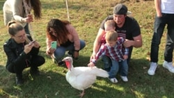 Turkeys Guests of Honor at Unusual Thanksgiving Celebration