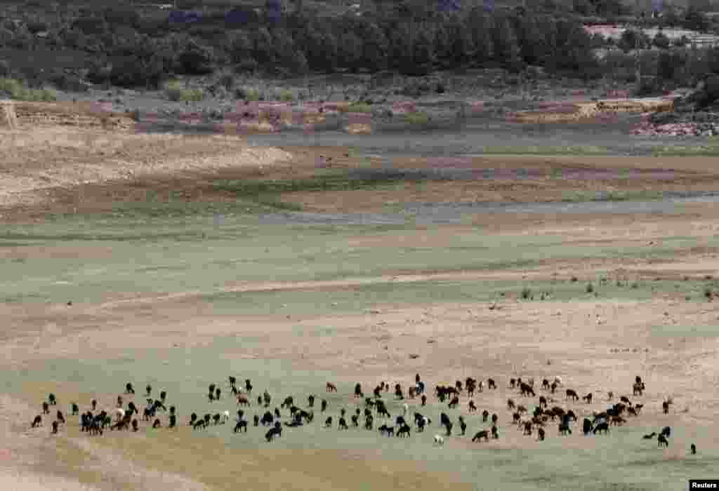 A herd of goats graze at the almost dried out Maria Cristina reservoir near Castellon. Spain's southeast is suffering the worst drought after the driest winter in 150 years.