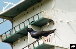 Barbara Vinson has Purple Martin nesting cavities on her Texas property, where she says 40 different types of birds can be found.