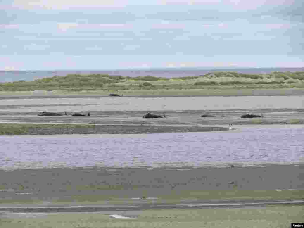 Tijela uginulih kitova nakon nasukavanja na obalu na plaži Caleta Susana nedaleko od čileanskog grada Punta Arenas. Nasukalo se 46 kitova, a 20 je vraćeno u more zahvaljući lokalnim ribarima.