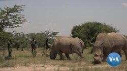 Kenyan Vets Turn to IVF to Save White Rhino From Extinction