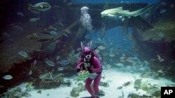 Des requins, rayons et d'autres espèces de poissons au milieu desquels nage plongeur habillé comme le lapin de Pâques dans un habitat de l'Asie du Sud-Est de Resorts Sentosa, une attraction touristique populaire à Singapour, le 17 avril 2014. (AP Photo/Wong Maye-E)