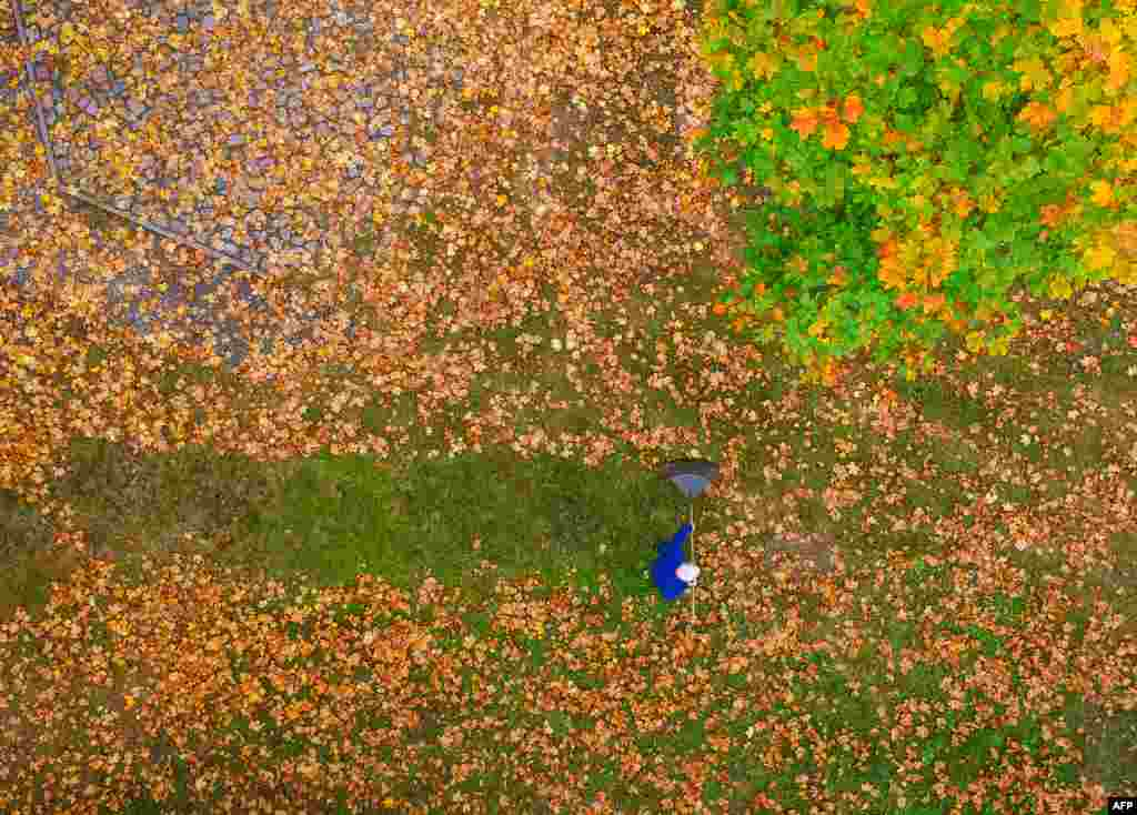 A man rakes colorful autumn leaves on a meadow under a maple tree in Brandenburg, eastern Germany.