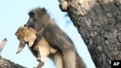 لنگور درختوں کی شاخوں پر شیر کا بچہ اٹھائے پھر رہا ہے۔