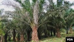 Bisnis-bisnis pertanian besar; seperti perkebunan kelapa sawit banyak mengambil alih lahan-lahan pertanian tradisional di Indonesia, Malaysia dan Thailand (foto dok).