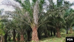 Indonesia dan Malaysia mengajukan keberatan atas regulasi baru ekspor kelapa sawit badan perlindungan lingkungan AS (EPA).