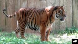 Jumlah harimau Sumatera menurun dari 1.000 menjadi 400 dalam empat dekade, akibat penebangan hutan dan perburuan. (Foto: Dok)