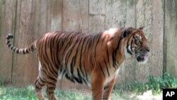 Peter, seekor harimau jantan berusia delapan tahun mati di kandangnya pada 17 Agustus, seminggu setelah ia ditemukan lumpuh di Kebun Binatang Taman Rimbo di Jambi. (Foto: Dok)