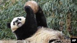 Para peneliti menemukan bukti bahwa di jaman pra-sejarah, manusia menyembelih panda sebagai makanan (Foto: dok).