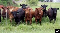 El abuso de antibióticos causa que bacterias resistentes crezcan en las granjas y se esparzan por el ambiente.