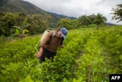 A coca farmer sprays his coca crop outside of Coroico, Bolivia, Dec. 20, 2018.