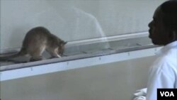Para ilmuwan Tanzania melatih tikus-tikus besar yang punya indera penciuman tajam untuk mendeteksi bau bakteri TB.