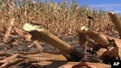 美國中西部遇到了幾十年來最嚴重的乾旱致玉米歉收