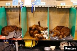 Irish Setters rest on their benches during the first day of the Crufts Dog Show in Birmingham, central England, March 5, 2015.