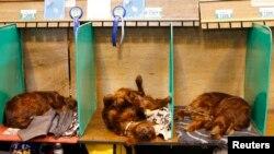 Anjing Irish Setters tidur-tiduran di sela-sela Crufts Dog Show di Birmingham, Inggris, 5 Maret 2015.