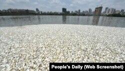 Các quan chức phụ trách về môi trường đang điều tra nguyên nhân gây ra tình trạng cá chết hàng loạt này.
