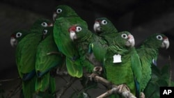 In this Nov. 6, 2018 photo, Puerto Rican parrots huddle in a flight cage at the Iguaca Aviary in El Yunque, Puerto Rico. (AP Photo/Carlos Giusti)