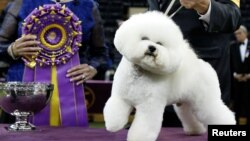 Flynn, a bichon frise and winner of Best In Show poses at after winning the 142nd Westminster Kennel Club Dog Show in New York, U.S., February 14, 2018. (REUTERS/Brendan McDermid)