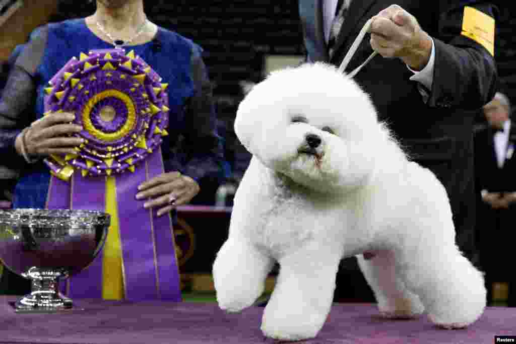 Flynn, a bichon frise and winner of Best in Show poses after winning the 142nd Westminster Kennel Club Dog Show in New York.