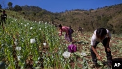 FILE - In this Jan. 30, 2014, photo, volunteers destroy a poppy field near Loi Chyaram village in Myanmar.
