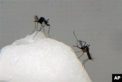 FILE - Aedes aegypti mosquitoes, which transmit dengue fever.