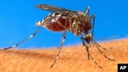 전염병 말라리아를 옮기는 주요 매개체인 모기. (자료사진)