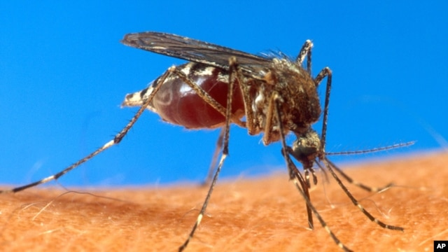 FILE - An aedes aegypti mosquito on human skin.