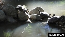 The red-eared slider turtles bask in the sun at the University of California Los Angeles Mildred E. Mathias Botanical Garden. These turtles are not native to California.