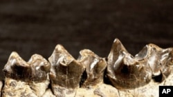 Teeth of miniature dog-sized horse that lived in Wyoming 56 million years ago.