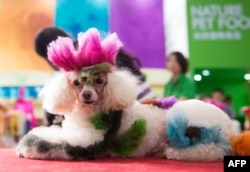 FILE - A colored dog sits on a table at the Pet Fair Asia 2014 in Shanghai on Aug. 23, 2014.