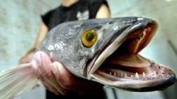Snakehead Fish Fair Game for Washington Anglers