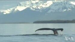 阿拉斯加鲸类死亡数激增三倍