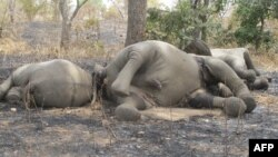 FILE - Elephants were killed by poarchers at Bouba Ndjidda National Park in northern Cameroon, near the border with Chad, Feb. 23, 2012.