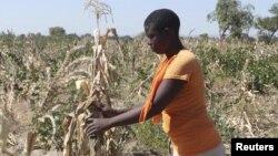 Dans un champ près de Gokwe, Zimbabwe, le 20 mai 2015.(REUTERS/Philimon Bulawayo)
