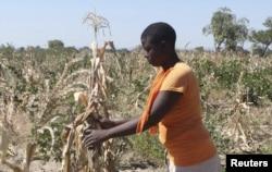 FILE - Mejury Tererai, 31, works in her maize field near Gokwe, Zimbabwe, May 20, 2015.
